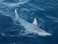 hybrid shark: Common Black Tip and Australian Black Tip.  First known Inter-species shark!