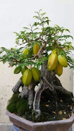 Wondering How Bonsai Trees Are Made? Bonsai Fruit Tree, Fruit Tree Garden, Bonsai Tree Care, Bonsai Tree Types, Mini Bonsai, Indoor Bonsai, Fruit Plants, Bonsai Plants, Bonsai Garden