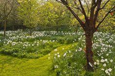 Naturalized daffodils beneath trees ('Carlton' is a good variety for naturalizing - Tara Dillard)