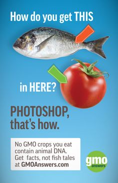 No GMO crop on the market today contains animal genes, and there are no GMO tomatoes on the market, either! There once was an experimental GM tomato that used a flounder gene to see if it would make it more cold tolerant, but that tomato was never commercialized. Learn more here: https://gmoanswers.com/ask/i-heard-there-spideranimal-dna-tomatoes-true