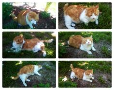 Houston TX: STILL IN DIRE NEED! RE: Found EXTREMELY Friendly Gorgeous Orange Cat
