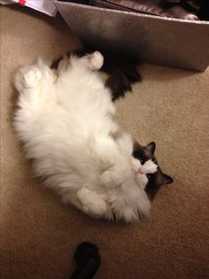 Ragdoll cat displaying one of Jazzpurr's favorite positions...