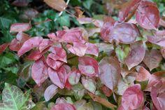 Epimedium = elfenbloem, al bloeit deze bodembedekker in mei, het blad is al eerder de moeite waard. Er zijn varianten die wintergroen zijn, ze houden van lichte schaduw (onder heesters) en een vochthoudende grond.