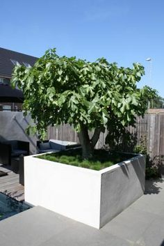 Not sure which tree this is? Fig tree? Love it!