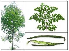 #Moringa #superfood  The Miracle Moringa Tree