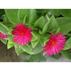 20 Aptenia cordifolia - Baby Sun Rose Seeds - Indigenous Succulents Ground Cover in the Seeds category was sold for on 26 Jan at by Seeds and All in Port Elizabeth African Herbs, African Plants, Edible Flowers, Red Flowers, Cacti And Succulents, Planting Succulents, Flowers For Sale, Ice Plant, Nature Plants