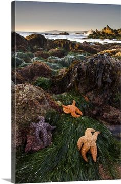 Starfish at Low Tide, Carmel-by-the-Sea, California, USA