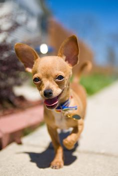 Chihuahua with a purpose Teacup Chihuahua, Chihuahua Puppies, Cute Puppies, Cute Dogs, Dogs And Puppies, Chihuahuas, Doggies, Mini Puppies, Prager Rattler