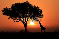 Large South African Giraffes at Sunset in Africa