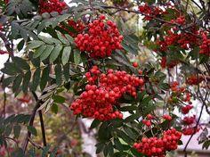Rönn, Sorbus aucuparia - Träd och buskar - NatureGate
