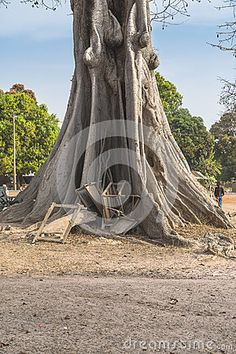 Fragment of trunk very old kapok tree in village in Gambia. Africa