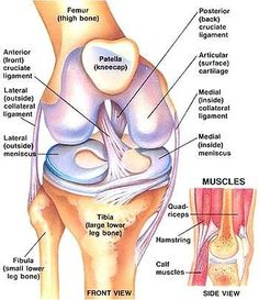Preventing ACL Injury through Strengthening Exercises - Women Fitness The Anterior Cruciate Ligament is extremely important to all, as this ligament controls rotational forces in the knee. If this ligament Preventing ACL Muscle Anatomy, Body Anatomy, Knee Muscles Anatomy, Anatomy Of The Knee, Anatomy Bones, Anatomy Study, Anterior Cruciate Ligament, Ligaments Of The Knee, Human Anatomy And Physiology