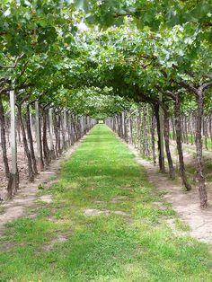 grape vines, Bodega de la Familia Zuccardi Winery, Mendoza, Argentina.