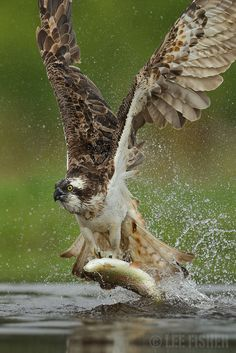 An Osprey catches its breakfast. Shot taken is Scotland's Cairngorms national park. Beautiful Birds, Animals Beautiful, Cairngorms National Park, Wild Creatures, Big Bird, Bird Pictures, Wild Nature, Birds Of Prey, Wildlife Photography