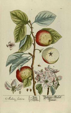 """""""Herbarium Blackwellanium..."""" Elisabeth Blackwell - Nüremberg 1757"""