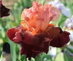 "(Hugh Stout 2010) Tall bearded iris, 38"", ML. AM 2014 The standards are warm peachy pink iris infused red with a tight gold edge. Sitting on rich, wide garnet red falls with a pink edge, the extremely"