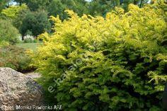 cis pospolity 'Summergold' - Taxus baccata 'Summergold' | Katalog roślin - e-katalog roślin