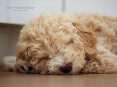 Anett Seidensticker - Photographie - Podgi & Beppa Italian Water, Lagotto Romagnolo, Animals And Pets, Dogs, Pets, Photography, Dog Training School, Photo Shoot, Pet Dogs
