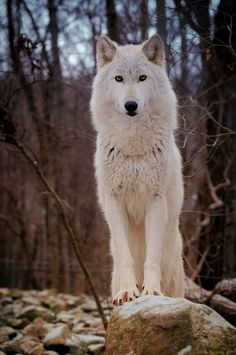 """wolveswolves: """" By Jamie Cournoyer """""""