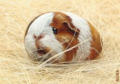 Hand painted rock. Guinea pig 6. by Alika-Rikki, via Flickr