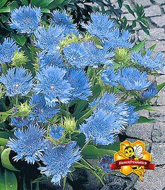 Stokesia 'Blue Danube'