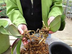 A Woman Who Deals With Orchids From Her 13 Year, Told Me The Secret Of Easy Transplanting! Orchid Care, Growing Flowers, Planting Seeds, Beautiful Flowers, Plants, Woman, Plant Propagation, Tree Fern, House Plants Decor