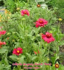 blanket flower - Google Search