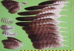 Common Buzzard - Mäusebussard (Buteo buteo)