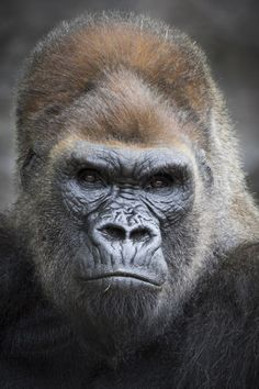 Say hello to Winston, the silverback gorilla of the San Diego Zoo Safari Park's troop. photo by NH on Flickr