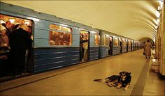 "Stray Russian subway commuter dogs who hop the trains every morning and travel into the city to find food, then home again at night. ""They sneak up behind people eating shawarmas — then bark loudly to shock them into dropping their food.  With children the dogs play cute by putting their heads on youngsters' knees and staring pleadingly into their eyes to win sympathy — and scraps."""
