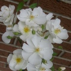Darlow's Enigma. Long bloomer and great climber. $15 + $9.95 shipping. Want one in next couple years.