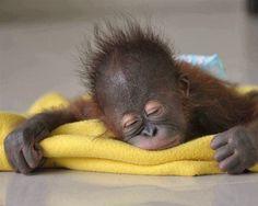 bebe de chimpance