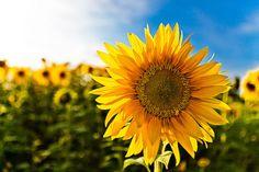 Sunflowersssssssss