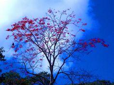 Flores vermelhas da Eritrina sob o céu azul