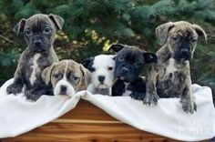 Rose's Pups is an adoptable Pit Bull Terrier Dog in Dublin, OH. Rose's pups are turning 8 weeks old and will be looking for their forever homes soon. There are 3 females and 2 males. They will be spa...