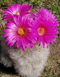 Kaktusy - Druhy kaktusů, diskuzní fórum, návod k pěstování kaktusů, fotogalerie kaktusy, fotosoutěž kaktus.-Mamillaria guelzoviana-