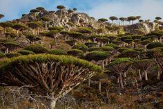 Une forêt de dragonniers - Excursion sur l'île de Socotra, à la découverte de sa faune et sa flore singulières - National Geographic