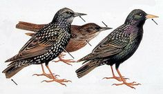 Starlings  Roger Tory Peterson