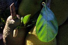 How to Grow Jackfruit Tree Indoors