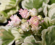 Pelargonie - Pelargonium - Pelargoner Westdale Appleblossom