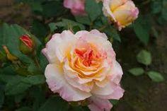 Bildergebnis für aquarell rose