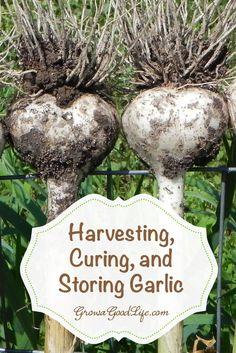 Harvesting, Curing, and Storing Garlic | Grow a Good Life