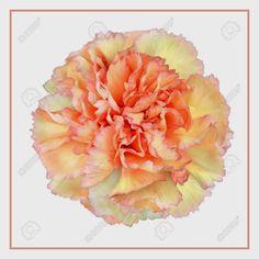 Cravo – Dianthus caryophyllus  Muito citada na literatura, esta flor tem um significado especial; representando o homem nos romances, enquanto a mulher é representada pela rosa.  http://sergiozeiger.tumblr.com/…/cravo-dianthus-caryophyllu…  Antiquíssima, tem flores dobradas com as bordas recortadas, disponível nas cores branca, rosa, vermelha e amarela, com diversas tonalidades e mesclas.
