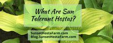 Blog.Sunset Hosta Farm.com: What Are Sun Tolerant Hostas? Sun Hostas, Hosta Varieties, Hosta Gardens, Leaf Coloring, Lavender Flowers, Amazing Gardens, Green Leaves, Gardening Tips