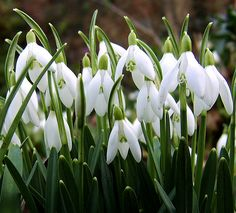 Snowdrops. The first sign of Spring in England.