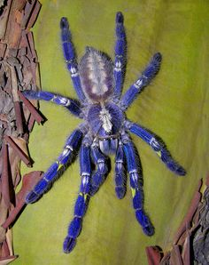 Poecilotheria metallica, a species of spider native to India, is among 11 tarantulas being considered for Endangered Species Act protection.