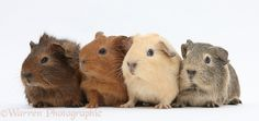 Four baby Guinea pigs photo