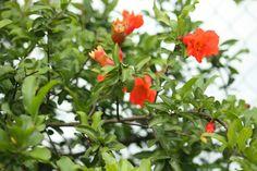 Perhaps a pomegranate tree