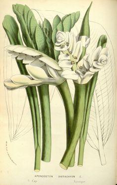 Cape Pond Lily - Aponogeton distachyos - circa 1845