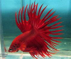 """Summary: Betta Fish also known as Siamese fighting fish; derives its name from the Thai phrase 'ikan bettah"""". Mekong basin in Southeast Asia is the home of Betta Fish and is considered to be one of the best aquarium fishes. Koi Betta, Betta Fish Tank, Discus Fish, Beta Fish, Fish Tanks, Weird Sea Creatures, Beautiful Creatures, Animals Beautiful, Aquarium Fish"""
